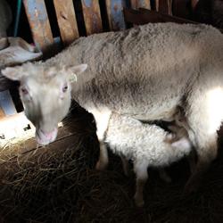 Steina og nýfætt lamb